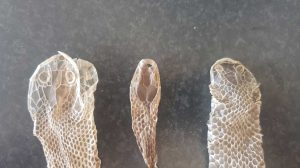 Why does a snake shed its skin
